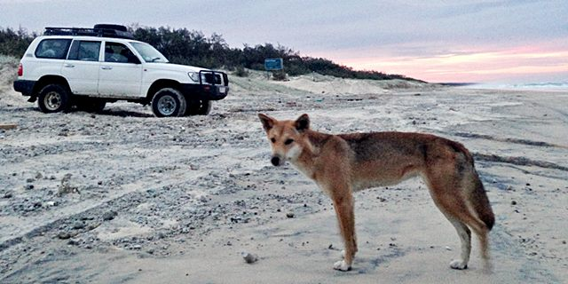 dingo and car on beach